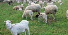 goat_sheep