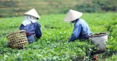 Tea-farm