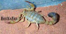 scorpion-_1