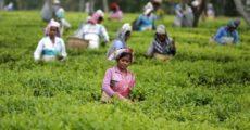 مزارعات في حقل شاي بالهند يوم 21 ابريل نيسان 2015. تصوير: احمد مسعود  - رويترز